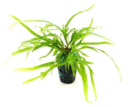 Aquarium Wasser Pflanze Microsorum pteropus Trident