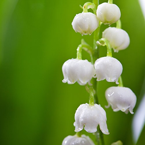 Bell shaped lily of the valley
