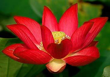 Liveseeds - Mini Yimeng rojo Bonsai Lotus/Flor de Nenúfar / 5 Semillas Frescas