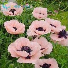 Schwarz: Neue Ankunft 100 Samen Island Mohn Mischfarben Papaver Nudicaule Schnittblumensamen Bonsai Pflanze Diy Hausgarten