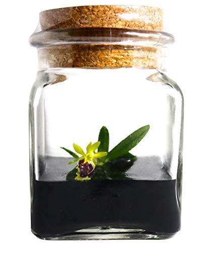 """BLOOMIFY Miniature Orchid Terrarium -Zero Care - Haraella retrocalla - 3"""" Cube"""
