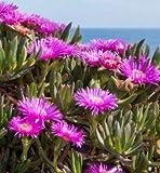Fresco Carpobrotus virescens, (pianta esotica di ghiaccio Living mesembriantemi Succulente Seed) 20 Semi