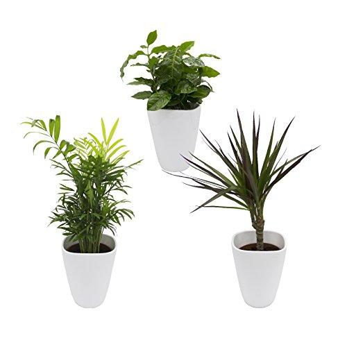 Dominik Blumen und Pflanzen, African-Set, Dracena Marginata, Kaffee-Pflanze mit Zimmerpalme und Dekotopf, weiß