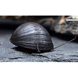 Stahlhelmschnecke Neritina pulligera