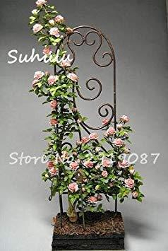 Potseed 10 PC Silk Kletterrose Blumensamen Efeu-Rebe Hängen Schöne Staude Blumen Garland Dekoration-Partei Start 11