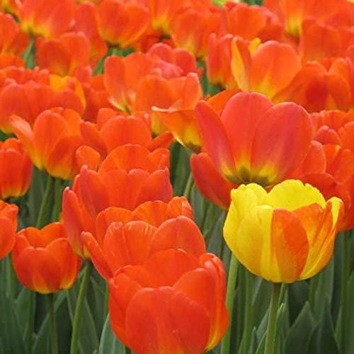 AchidistviQ Bulbi Di Tulipani Da 50 Pezzi Tulipani Misti Colori Vivaci Bulbi Da Fiore Primaverile...