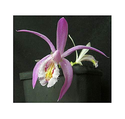 Stk - 100x Pleione praecox Orchidee Garten Pflanzen - Samen B104 - Seeds Plants Shop Samenbank Pfullingen Patrik Ipsa