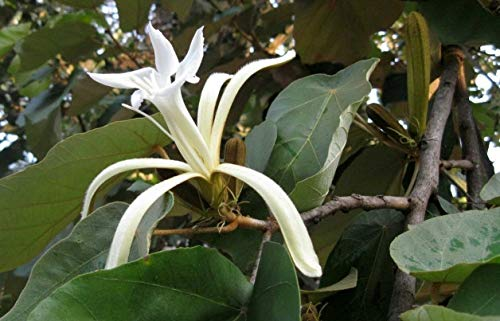 10 seeds (Wafer) Pterospermum Acerifolium Seeds, Karnikara Tree, Bananenschalenbaum, Tellerbaum