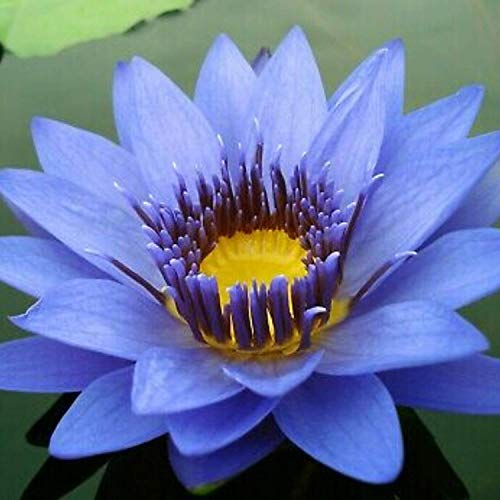 Planterest - Nymphaea Geena Blue Hardy Water Lily Rhizome Live Aquarium Plant BUY2GET1FREE