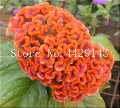 prime vista 100 stücke Mischfarbe Cockscomb bonsai, celosia spicata pflanze, bonsai blume pflanze Reine blaue Cockscomb baum topf für hausgarten: 14