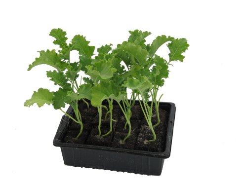 Grünkohlpflanzen im 10er Pack, Grünkohlpflanzen, Grünkohl kaufen, Gemüsepflanzen,Brassica oleracea v