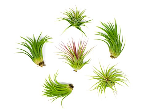 6-Pack Live Low-Light Air Plants $13 at Amazon