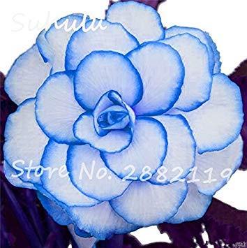 SANHOC Samen-Paket: Rose Rieger Begonia Samen 50 PC Malus Spectabilis Seed Seed Seltene Balkon Terrasse Blumensamen für Hausgarten-Seeding Easy Grow 6