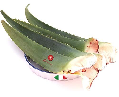 Frische Blätter von Aloe Arborescens ETNEA 1 kg GANZE mit Gel für Pater Zago Rezept Nährendes Essen Hautkörper Bio Produktion Sizilien Sizilianisches Italien
