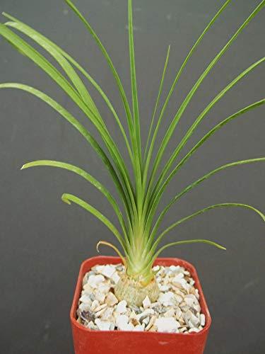 2' Plant Beaucarnea Recurvata Elephant Foot Ponytail Palm pachycaul Base 2 Pot