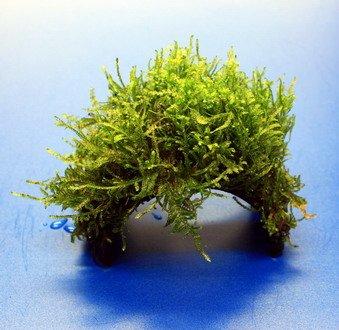 WFW wasserflora Moos-Brücke aus Kokosnuss mit Javamoos bewachsen