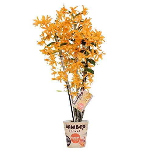 Orchidee von Botanicly – Bambus Orchidee – Höhe: 50 cm, 3 Triebe, orangene Blüten – Dendrobium nobile Firebird