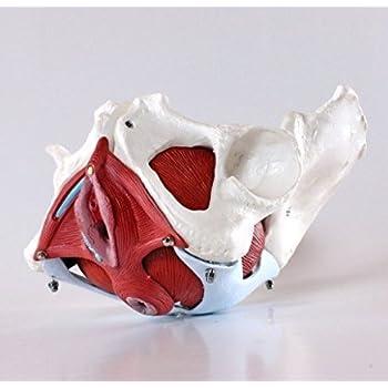 高精度人体骨格模型・女性骨盤内臓・骨盤底筋付6分解モデル 高精度 - 1.4547