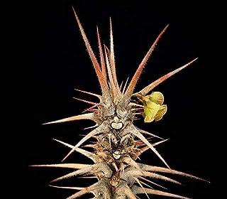 Euphorbia Hofstaetteri Exotic Madagascar Succulent Rạre Bónsai SéẹD 10 SéẹDs Seeds_Easy_Grow