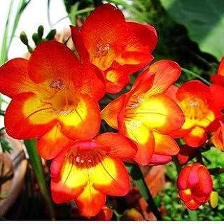 GEOPONICS Semillas: bombillas Ture fresia, flor, interior del pote de orquídeas Flores, Fresia Rizoma bulbos de flores florales tranquilas de huerta de plantas-2bulbs: