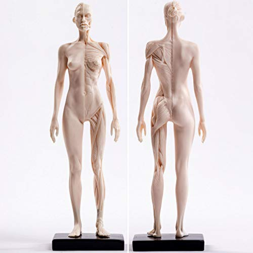 Sculpture Statuette Menschliches Skelett Anatomische Malerei Modell Für Anatomische Anatomie Skull Skulptur Kopf Körper Muskel Künstler Zeichnen (Frauen) Statue Artwork Für Wohnzimmer Tisch Zub