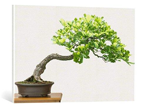 Kunst für Alle Cuadro en Lienzo: Bernd Schmidt Eiche Quercus robur als Bonsai Baum - Impresión artística, Lienzo en Bastidor, 85x55 cm