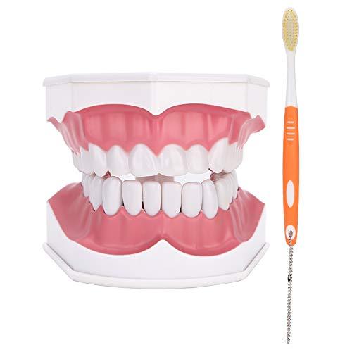 Modèle de dents standard dentaire, modèle de brossage des dents, modèle de dent dentaire étudiant la démonstration de cavité d'enseignement des dents dentaires standard avec brosse