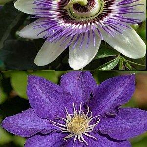 2 Kletterpflanzen: Clematis The President & Passionsblume (1,5 Liter Topfen) - Blau &Winterhart | ClematisOnline Kletterpflanzen & Blumen