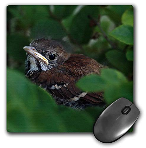 3dRose Stamp City - Birds - Photograph of a Baby Brown Thrasher Hiding in a Bush. - Mousepad (mp_322337_1)