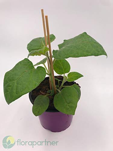 Andenbeere Physalis peruviana Obst Pflanzen 3stk.
