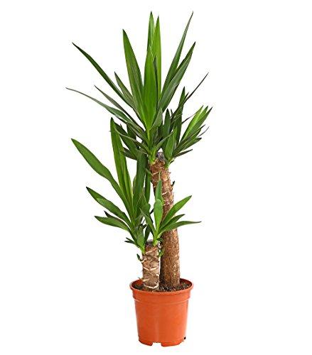Dehner Yucca-Palme, zweitriebig, ca. 80 - 90 cm, Ø Topf 19 cm, Zimmerpalme