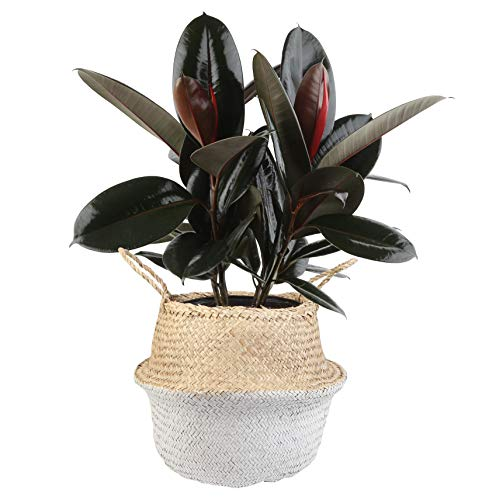 Costa Farms Burgundy Rubber, Ficus elastica, Live Indoor Plant, 2 to 3-Feet Tall, Ships with Décor Planter, Fresh From Our Farm, Excellent Gift or Home Décor