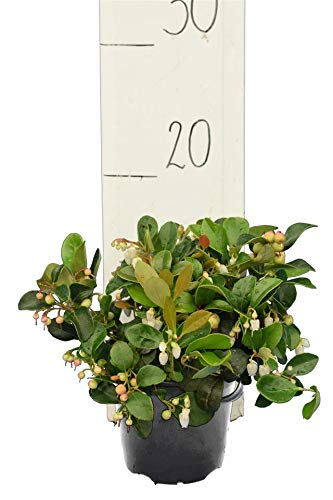 Preiselbeere - Vaccinium vitis-idea Koralle - Gesamtgröße 15-25 cm - Ø 11 cm Topf