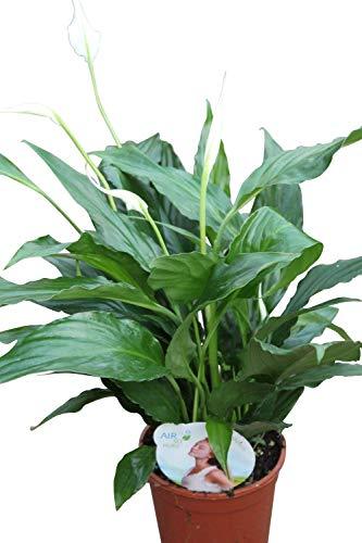 41IrEhnUKRL. SL500  - Ces Plantes d'Intérieur Qui ont Envahi nos Maisons en 2020