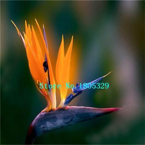 AGROBITS GGG 100pcs / pots pack. Flower jardinières Toutes sortes de couleurs Strelitzia graines de semences reginae paradis des oiseaux hybride Bonsai Graines de fleurs: grandes Promotions