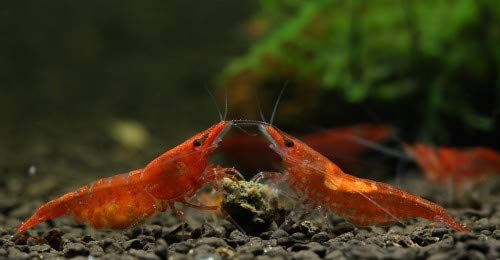 Topbilliger Tiere Red Fire Garnele - Neocaridina davidi 10x