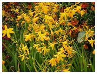 Crocosmia 'George Davidson' a Gorgeous and Colorful, Tall Clump-Forming Perennial with Erect, Sword-Shaped Leaves and bran...