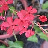 Pianta Plumbago Indica Rosso, Vaso 7cm, Altezza 10/15cm
