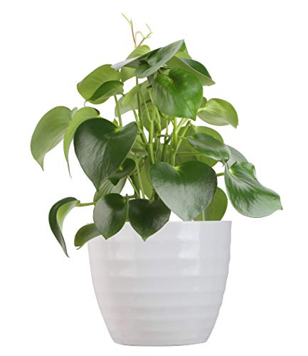 Costa Farms Peperomia Raindrop Trending Tropicals Collection Live Indoor Plant,...