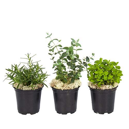 "The Three Company Live Aromatic Combo Herb Assortment (Lemon Balm, Mint, Rosemary), 4"" Pot Size, Breathe Easier"