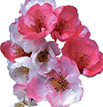 Toyo Nishiki Flowering Quince - 2 1/2