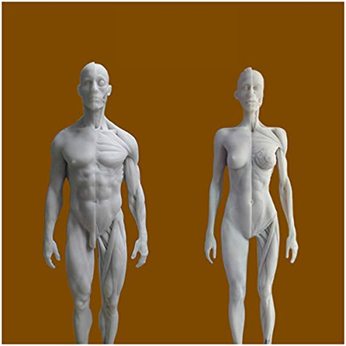 Weiblich & männlich Anatomie Figur - menschliche anatomische Muskel-Knochen-Modell - Harz-Material Menschliches Muskel-Skelett-Anatomie Modell für Künstler Zeichnung Studie
