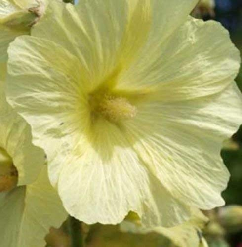 Alcea Antwerp ficifolia jaune ou la figure 15 feuilles graines trémière