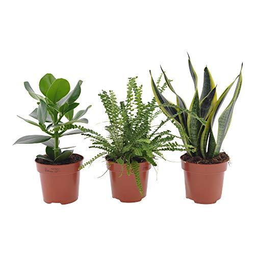 3x Schlafzimmerpflanzen | 3er Set Indoor Grünpflanzen | Pflegeleicht | Balsamapfel, Schwertfarn, Bogenhanf | Höhe 20-40cm | Topf Ø 12cm