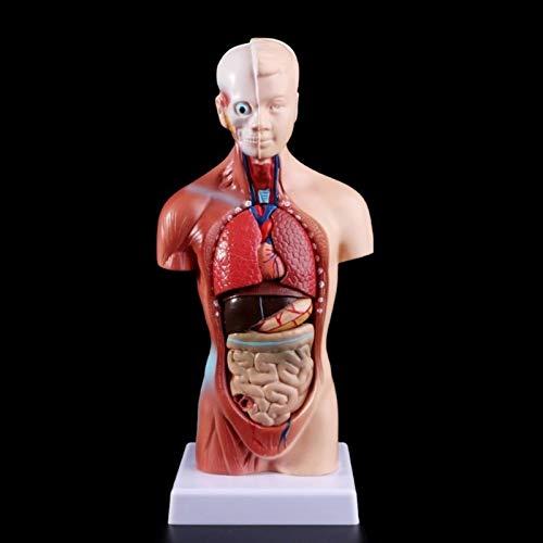JAP768 1 PZ Medical Puntelli Model Torso Umano Torso Body Model Anatomia Anatomica Organi Interni Medico Anatomici per l'insegnamento