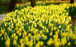 100pcs graines Tulip, Tulip agesneriana, aromatiques graines de fleurs des plantes en pot plus belles plantes vivaces colorées Tulip Garden 9