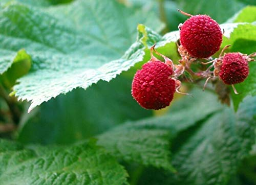 Thimbleberry Rubus Parviflorus 30+ SẸẸDS for Plạnting