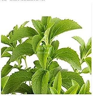 発芽種子:400のステビアハーブの種緑のハーブ