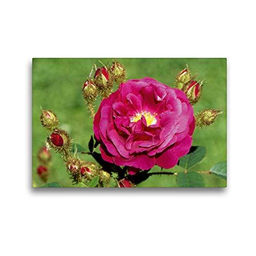 CALVENDO Premium Textil-Leinwand 45 x 30 cm Quer-Format Rosa centifolia, Leinwanddruck Verlag