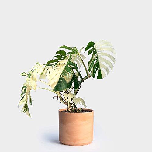 PLAT FIRM KEIM SEEDS: 100 PCS Palme Schildkröte Blätter Monstera Topfpflanzen Samen, Baumsamen Bonsai